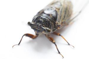 cicade insect op wit wordt geïsoleerd foto