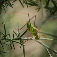 gespikkelde bush cricket.