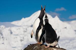 zingende pinguïns foto