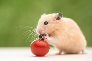 gouden hamster foto