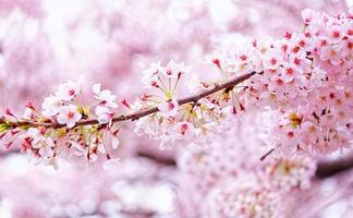 mooie sakura bloemen in busan, zuid-korea