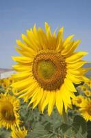 zonnebloem in veld foto
