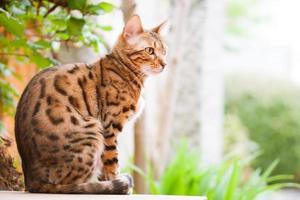 Bengalen kat zittend op de tuintafel foto
