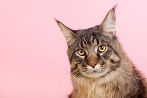 Maine coon kat op pastelroze foto