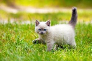 schattige kleine siamese kitten wandelen op het gras foto