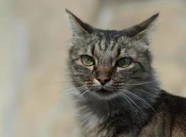 chat à poils verlangt foto