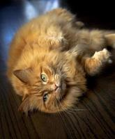 mollige gemberkat op de vloer foto
