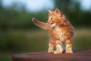 schattig maine coon kitten buitenshuis foto