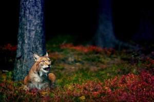 Euraziatische lynx foto