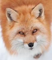 jonge rode vos die omhoog de camera bekijkt