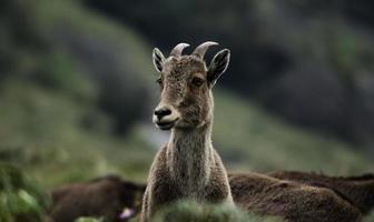 nilgiri tahr - wilde geit - steenbok foto