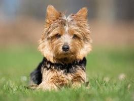 Yorkshire terrier hond buiten in de natuur foto