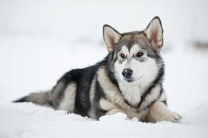 malamute puppy die van Alaska in de sneeuw liggen