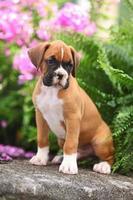 boxer puppy in een prachtige tuin foto