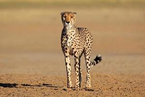 alert cheetah foto