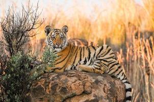 portret shot van een jonge tijger foto