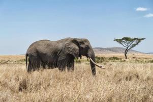 olifant en acacia-boom foto