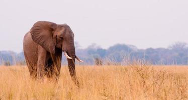 olifant in het gras