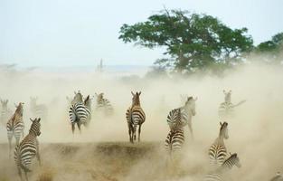 kudde zebra's (Afrikaanse paardachtigen) foto