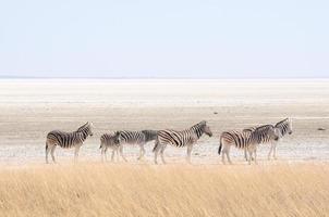 zebra's bij etosha pan, namibië foto