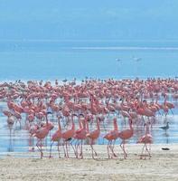 zwermen flamingo's in de zonsopgang, Lake Nakuru, Kenia foto