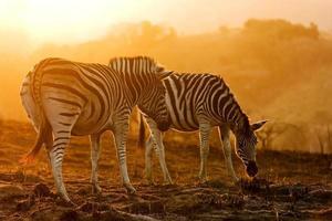 Afrikaanse zebra's foto