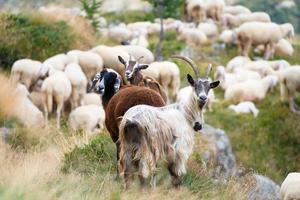 geiten en schapen bij elkaar foto