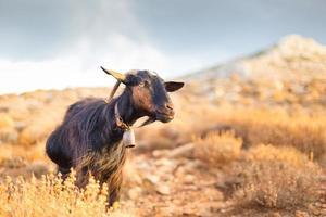binnenlandse geit in de bergen.