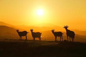 gehoornde geiten bij zonsondergang foto
