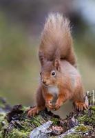 close-up van Euraziatische rode eekhoorn (sciurus vulgaris) foto