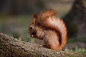 kleine rode eekhoorn foto