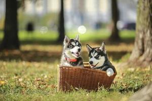 twee husky pup in een mand
