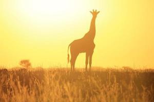giraffe zonsondergang - silhouet van prachtige natuur en achtergrond foto