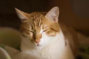 gember slaperige kat, sluimerende kat, kattengezicht, slaap foto