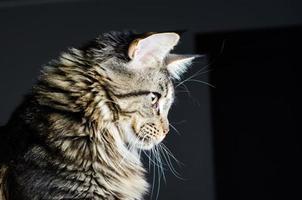 Maine coon kat grijs en zwart portret foto