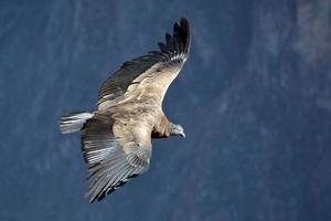 Andes condor vliegt in de colca canyon arequipa. foto