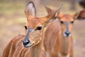 close up van vrouwelijke nyala hoofd foto