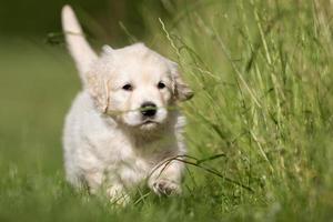 jonge golden retriever pup foto
