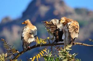 Egyptische gieren op de tak van de boom foto