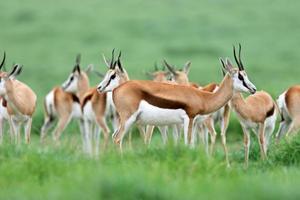 springbok antilopen