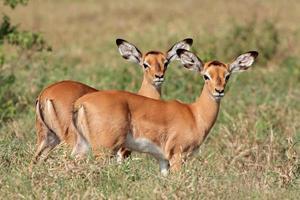 impala antilopen lammeren