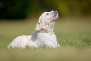 blaffende golden retriever pup foto