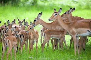 kudde vrouwelijke en jonge impala's