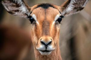 impala gezicht foto