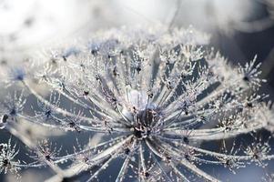 schermbloemige plant Koe-pastinaak in de winter in rijp rijm foto