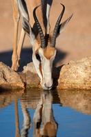 springbok antilopen drinken foto