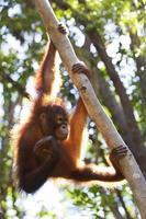 orangoetan foto
