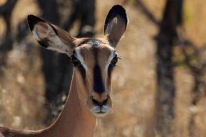 close-up hoofd met zwarte kop impala in Namibië foto