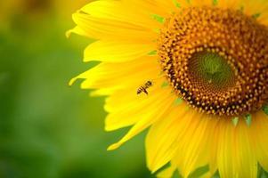 bijen en zonnebloem foto