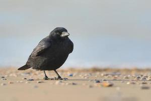 zwarte kraai (corvus corone) foto